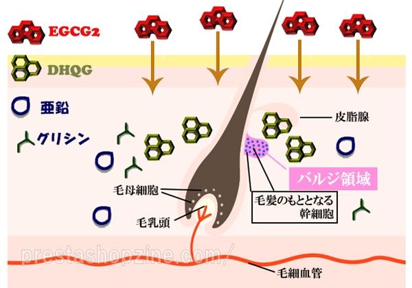 毛髪のもととなる幹細胞